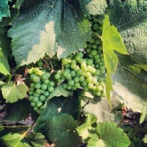 On the Piemonte Wine Trail: Chardonnay in July