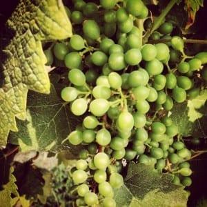 On the Piemonte Wine Trail: Grignolino in July
