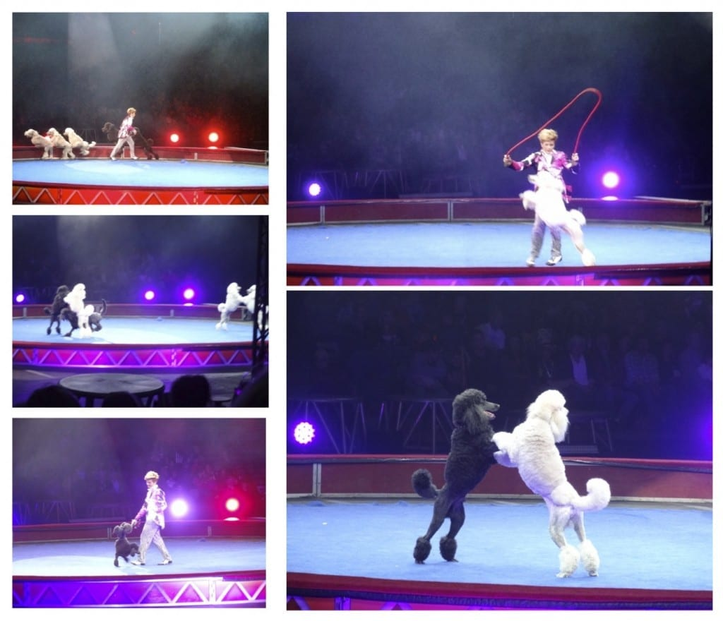 Poodles at Ringling Bros. and Barnum & Bailey Circus