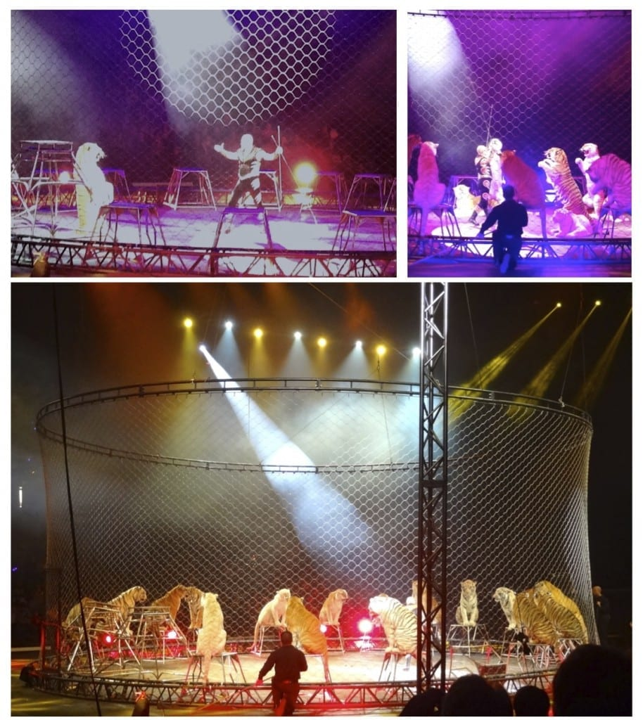 Tigers at Ringling Bros. and Barnum & Bailey Circus