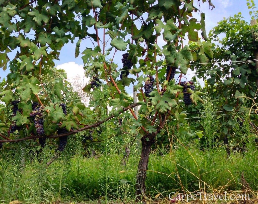 wine grapes of piedmont italy