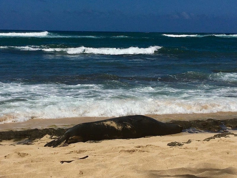 "During our stay at Turtle Bay Resort we nearly stumbled on a Hawaiian Monk Seal sunning itself on shore. It literally blended in with the volcanic rock that was scattered along the beach. It was the ""seal watchers"" standing guard that alerted us to divert our course. These ""seal watchers"" are volunteers who sit along the beaches to protect the seals from people who get too close. While they are there to protect the animal - and the people - they are also there to help educate. We learned a lot about how the Hawaiian Monk Seal makes its way around the islands and how to protect it given it is now the most endangered marine life in the Western Hemisphere. Click over for a full review of Turtle Bay Resort on Oahu's North Shore."