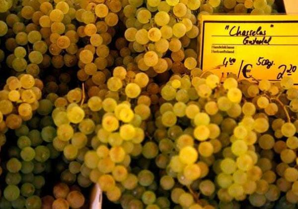 Chasselas Grapes for Swiss wine making