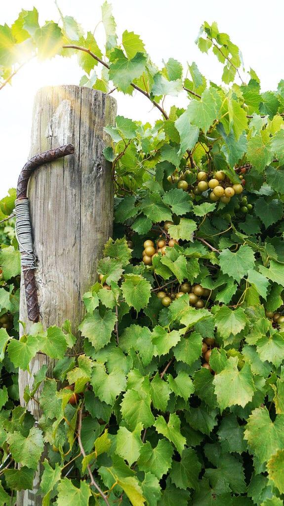 Florida Vineyards Terroir and History
