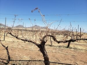 Vineyards in Willcox AZ