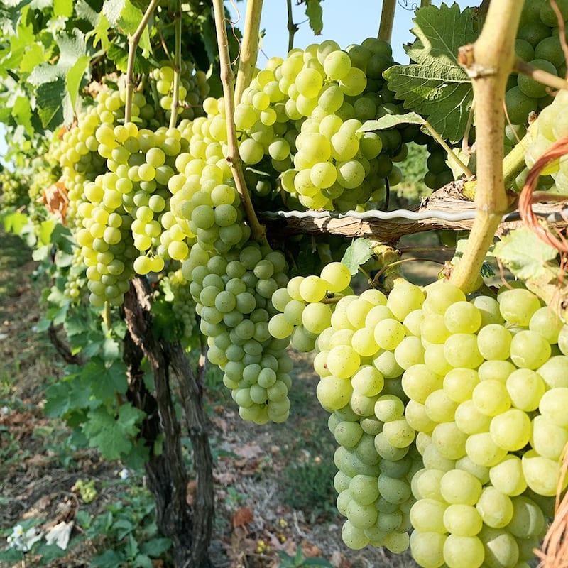 Michigan Wineries - st julian