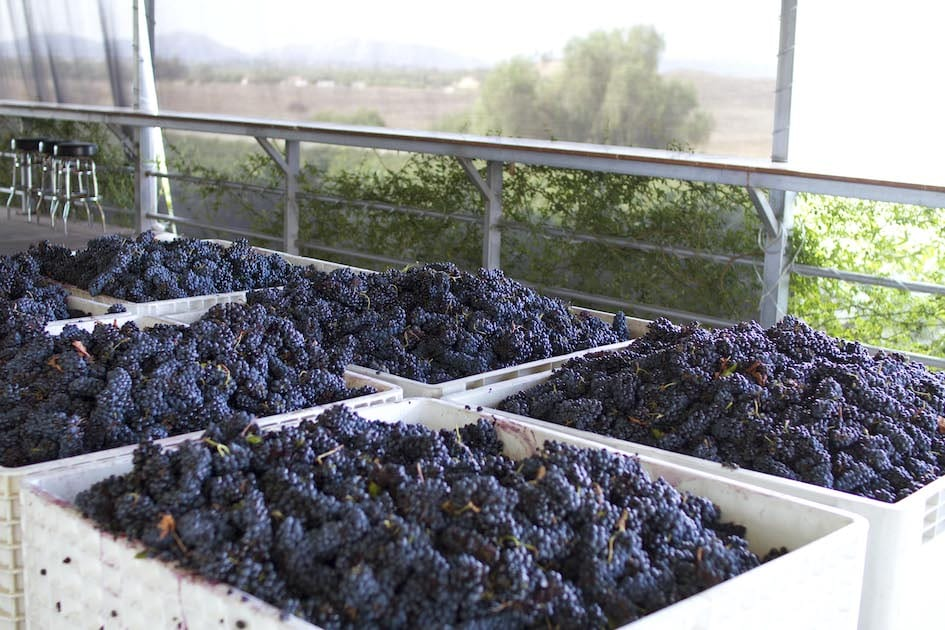 Temecula Wineries - Doffo Estate Grapes at Harvest by Doffo Vineyard