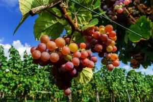 Getting to know Gewurztraminer wine