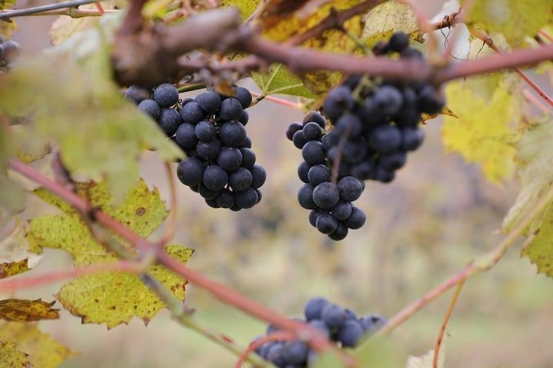 Vermont Vineyard Grapes